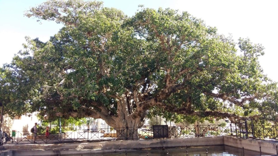 Fig Tree in Ayia Napa, Cyprus